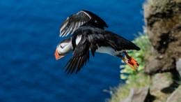 Papageientaucher (Fratercula arctica) im Flug Westfjorde Island