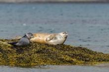 Seehund Familie in den Westfjorden von Island