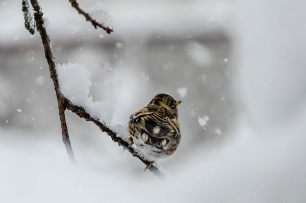 Bergfink [Fringilla montifringilla]