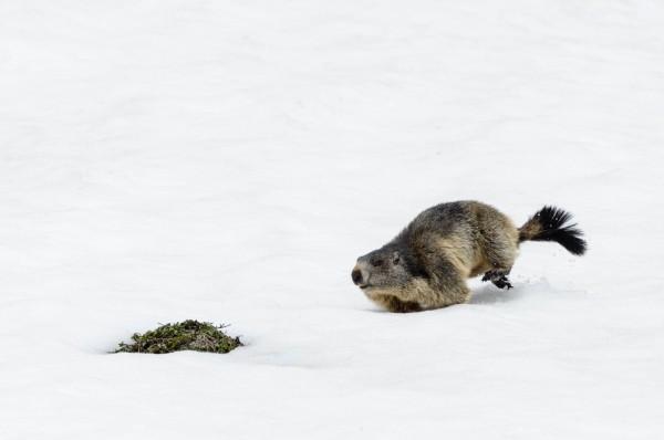 laufendes Murmeltiere [Marmota] im Val Piora