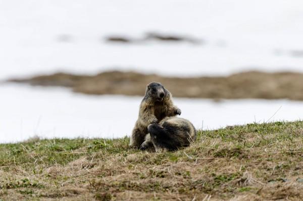 spielende Murmeltiere [Marmota] im Val Piora