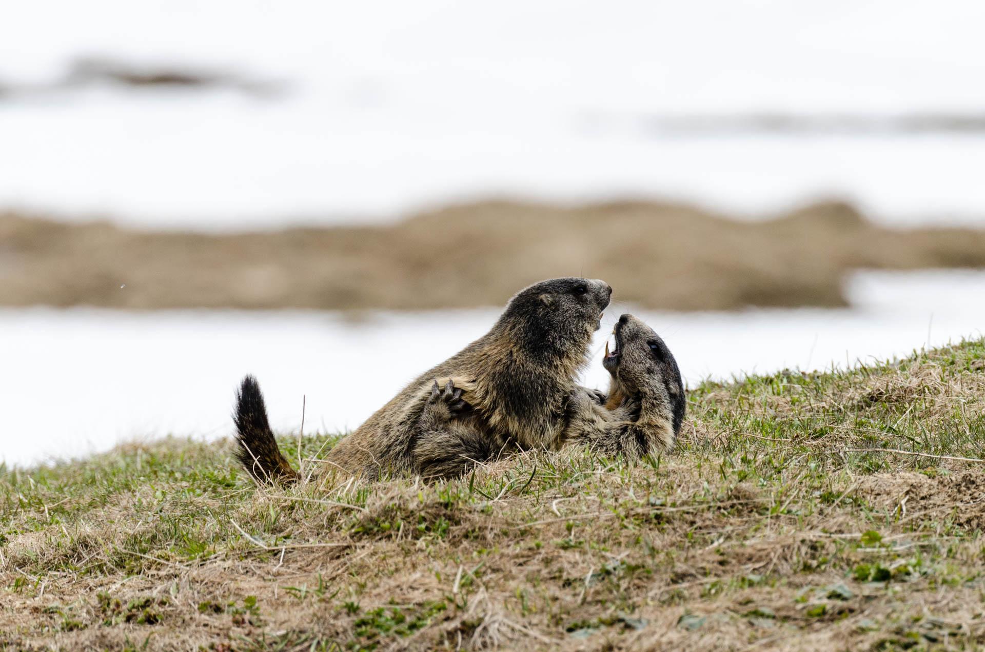 Murmeltiere [Marmota] im Val Piora