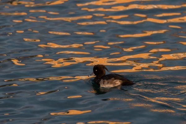 Reiherente [Aythya fuligula] auf dem Genfersee bei Sonnenuntergang.