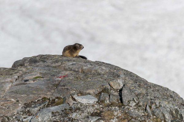 Murmeltier [Marmota]