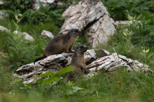 Murmeltiere [Marmota] im Ober Chüetal in Glarus Nord
