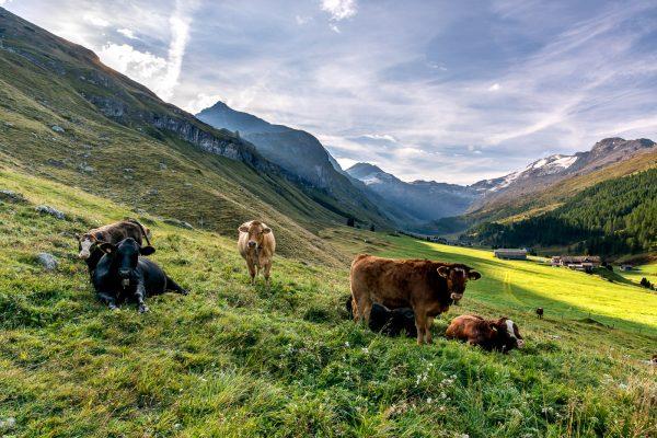 Kühe am frühen Morgen im Val Fex