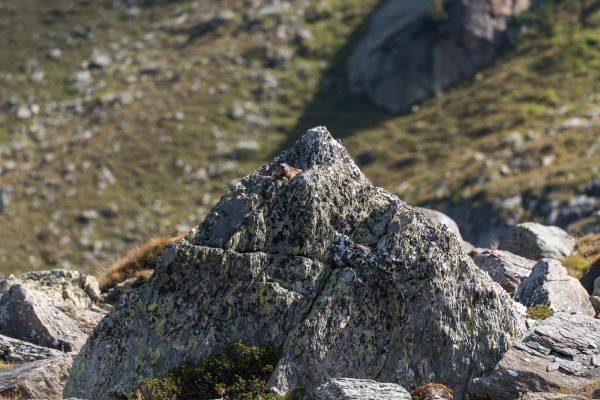 Murmeltier auf dem Mini Matterhorn