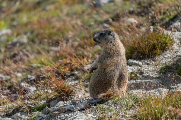 Murmeltiere [Marmota] im Oberengadin