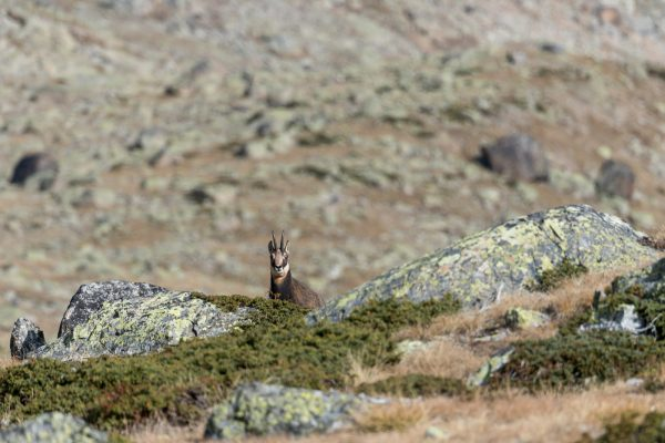 Gemse [Rupicapra rupicapra] auf Pasculs da Boval