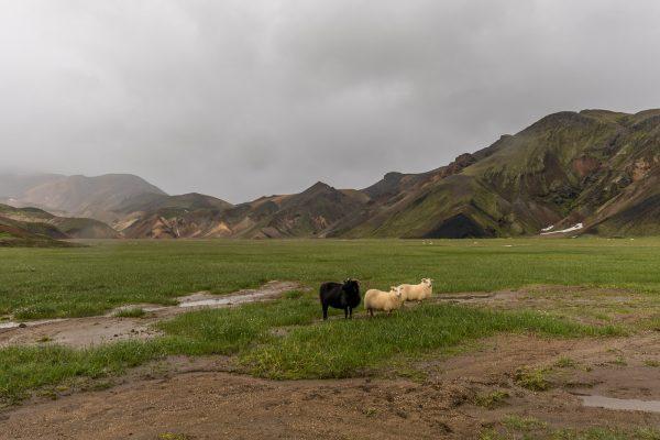 Unser erstes schwarzes Schaf dieses Jahr