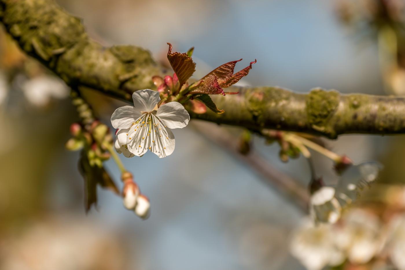 Kirschblühte