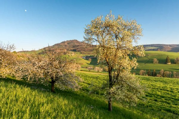 Kirschbäume