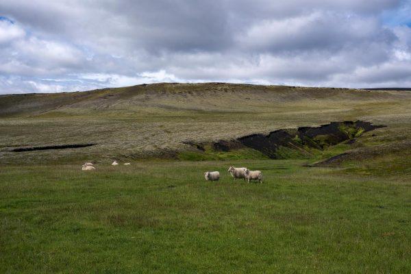 Schafe im Hochland