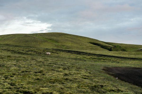 Schafe – vom Schwan v ertrieben