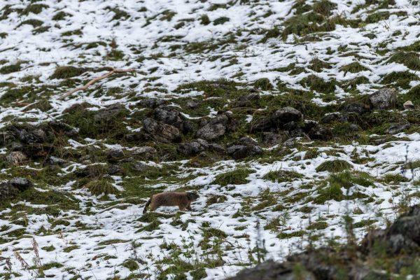 Murmeltier [Marmota marmota]