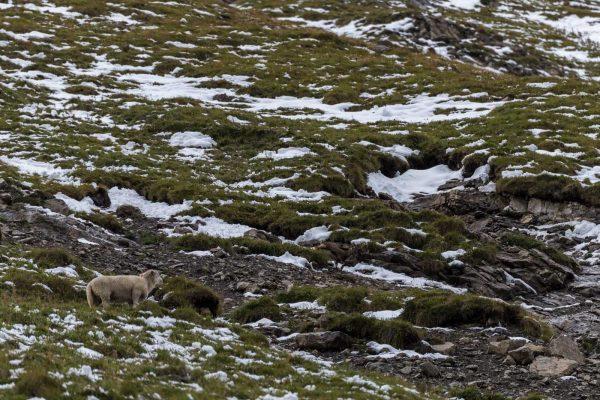 Schaf unter den Steinböcken