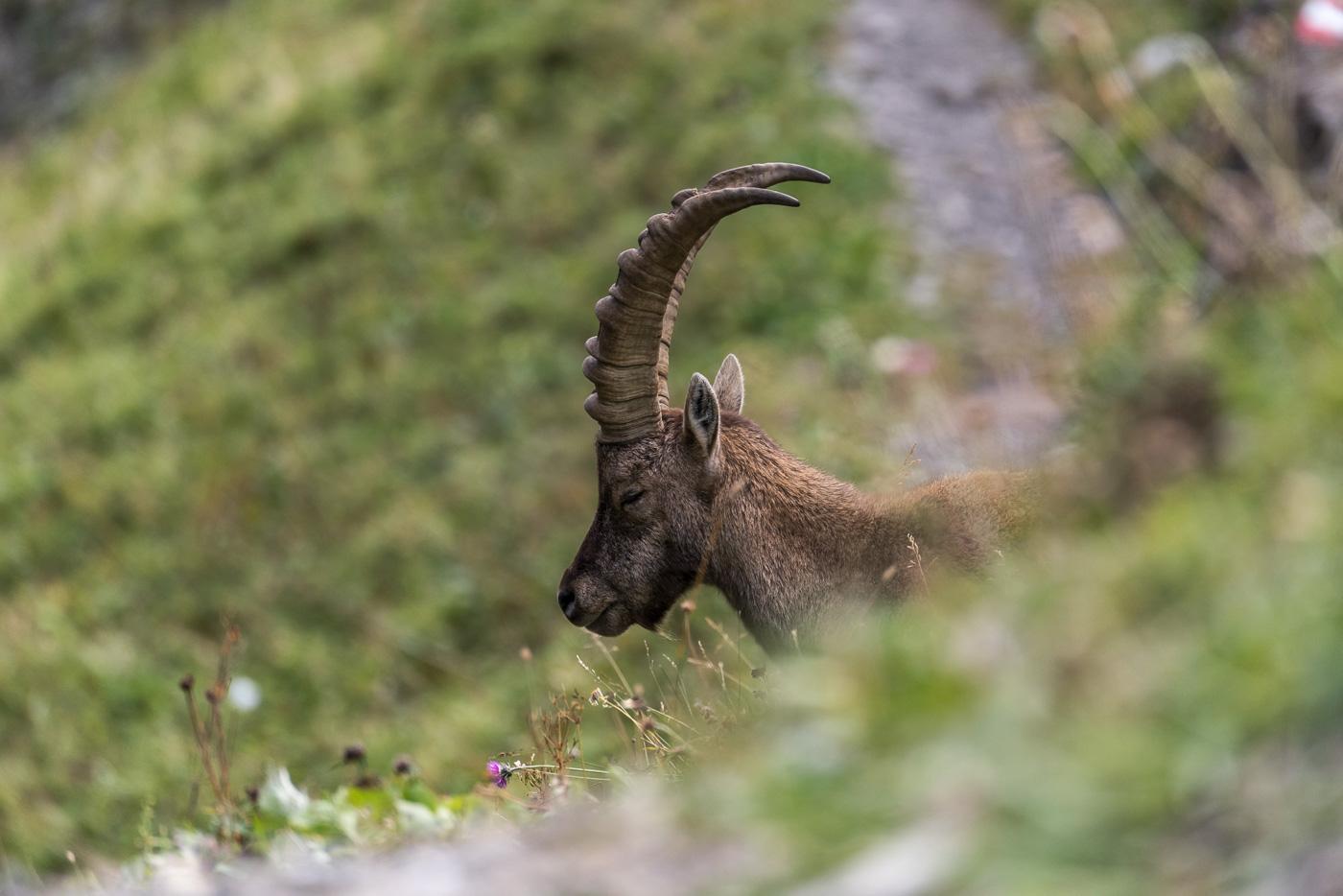 Schlafender Steinbock [Capra ibex]