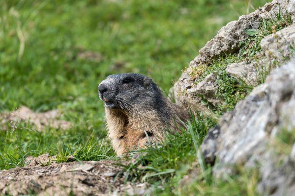 Murmeltiere [Marmota]
