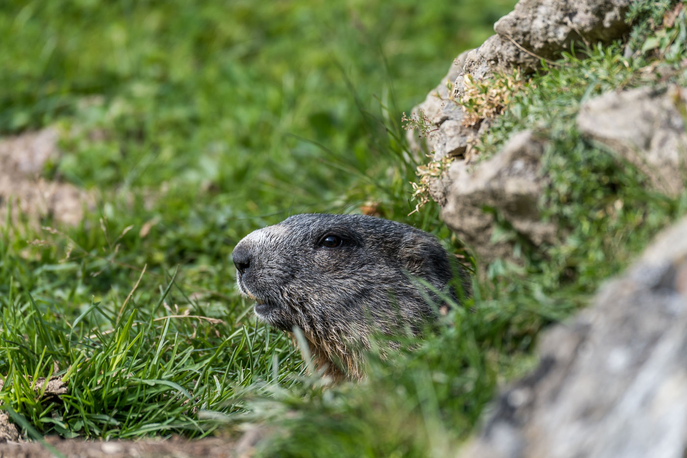 Neugieriges Murmeltiere [Marmota]
