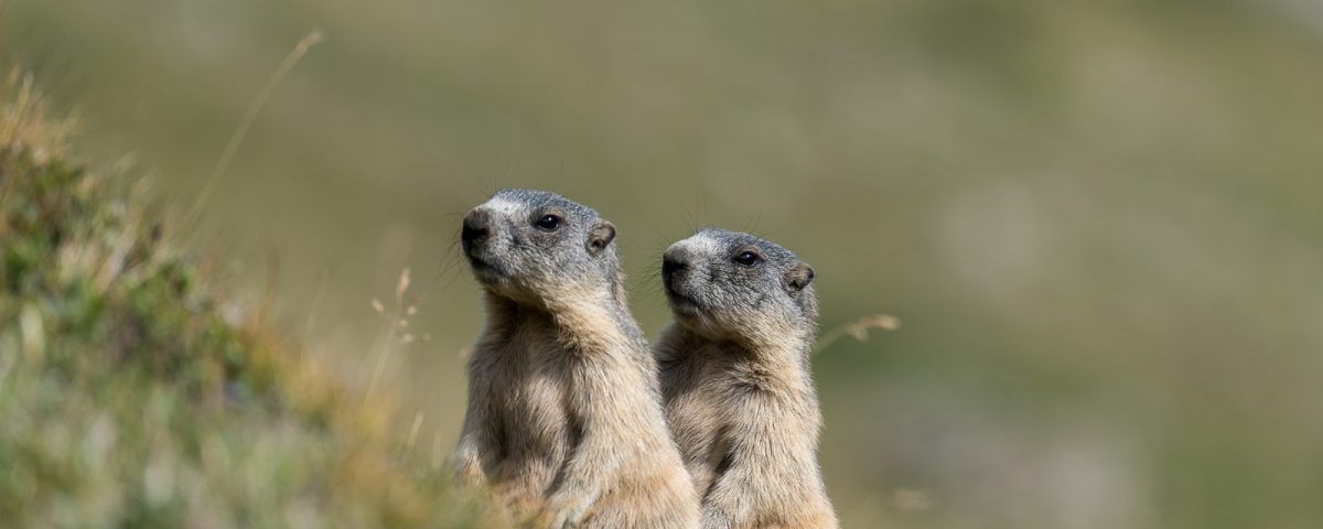 Zwei Murmeltiere [Marmota]