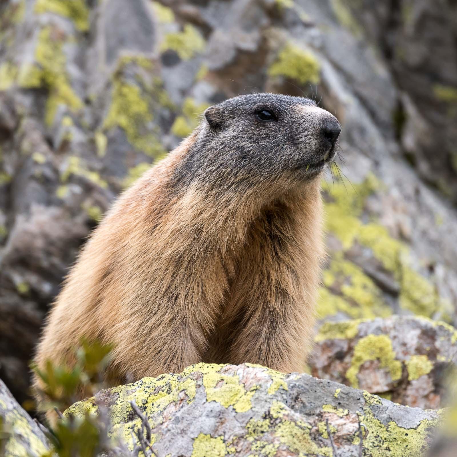 Italienisches Marmotta