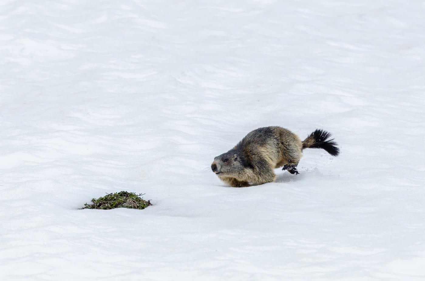 Murmeltiere auf der Flucht vor einem Fuchs