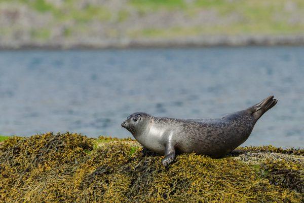 Seehund in den Westfjorden von Island