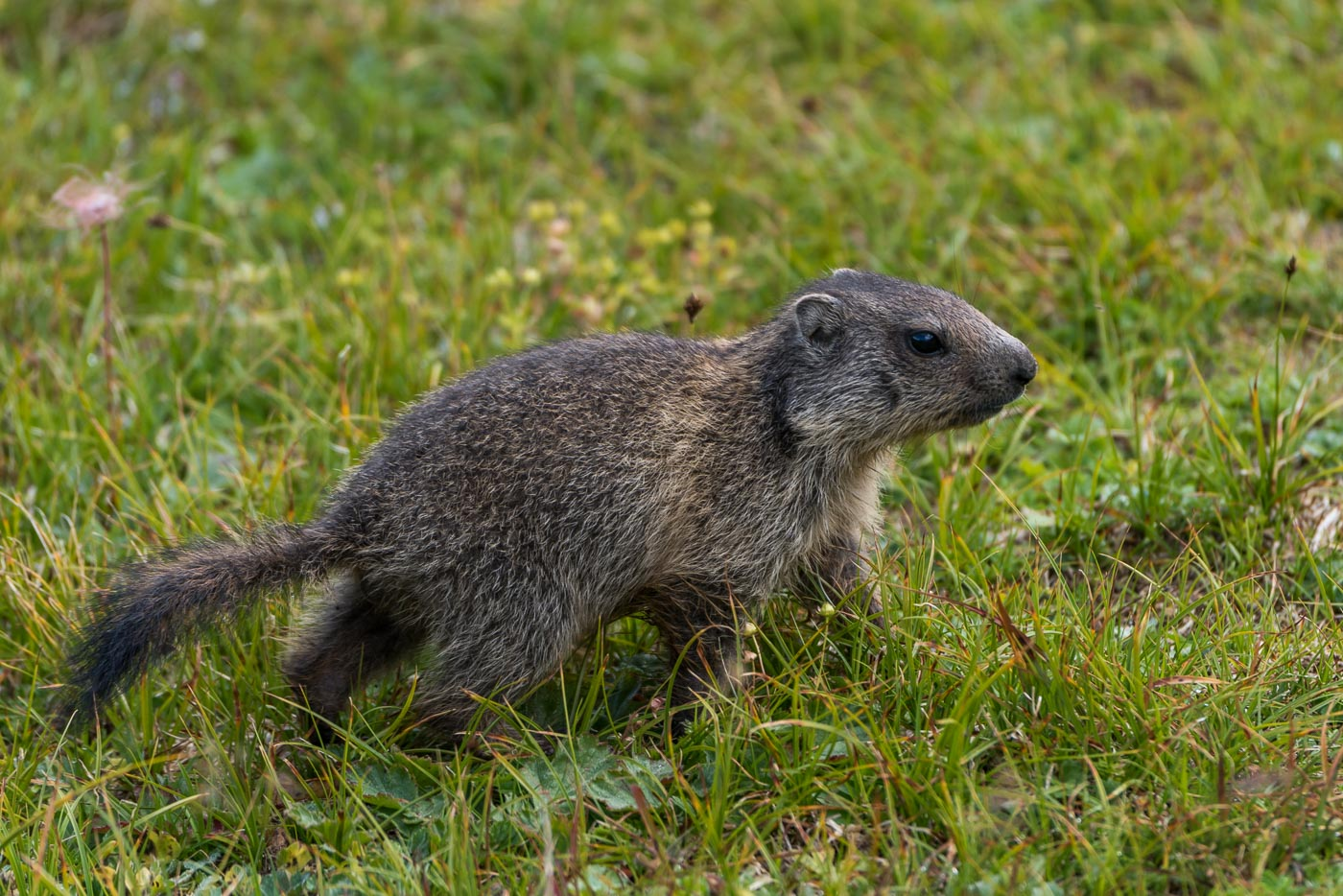 Junges Murmeltiere [Marmota]