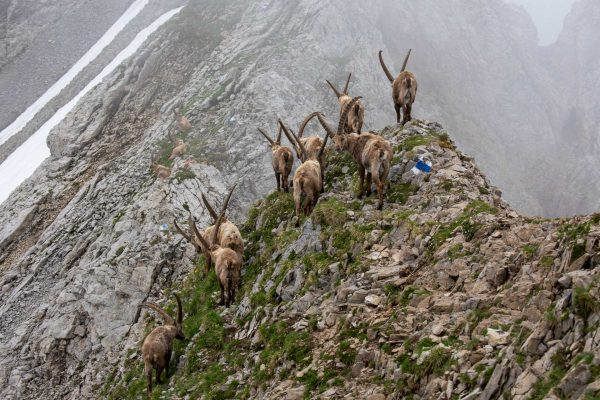 Steinböcke [Capra ibex]