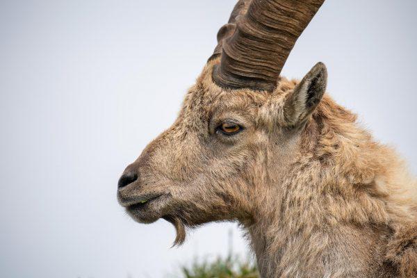 Steinbock [Capra ibex]
