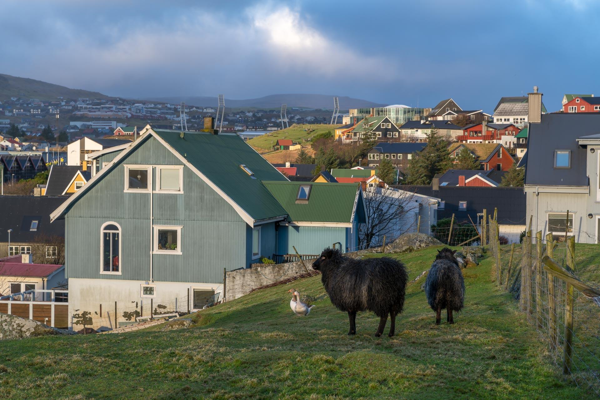 Schafe mitten in Tórshavn