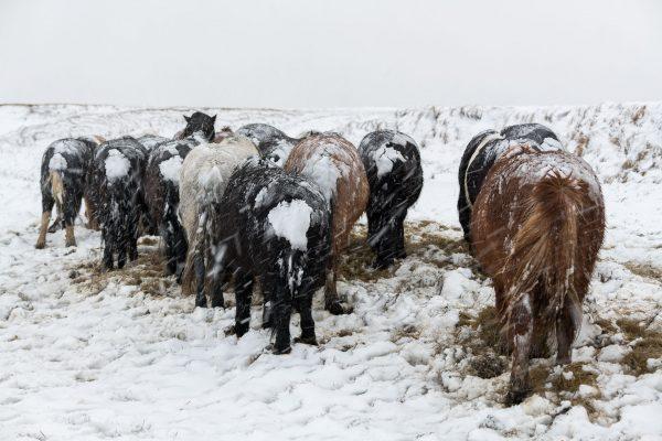Islandpferde im Schneesturm