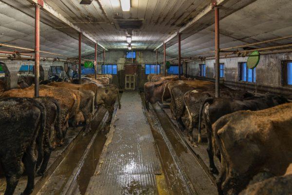 Stall unserer Milchkühe