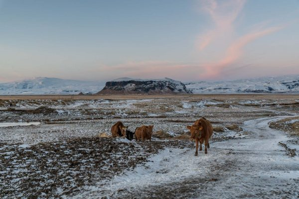 Unsere Kühe vor dem Pétursey auf dem Weg zum Stall