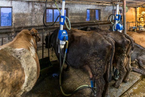 Kühe melken in Island