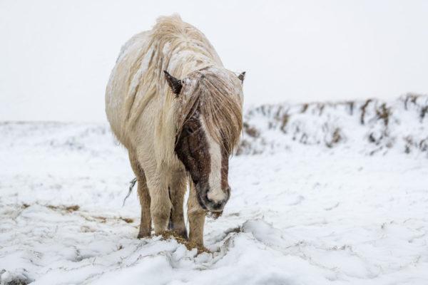 Islandpferd im Schneesturm