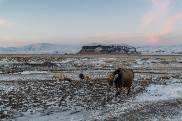 Kühe auf dem Heimweg