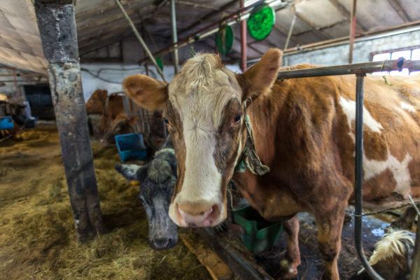 Kühe im Anbindstall