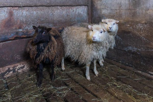 Unsere drei kleinsten Schafe