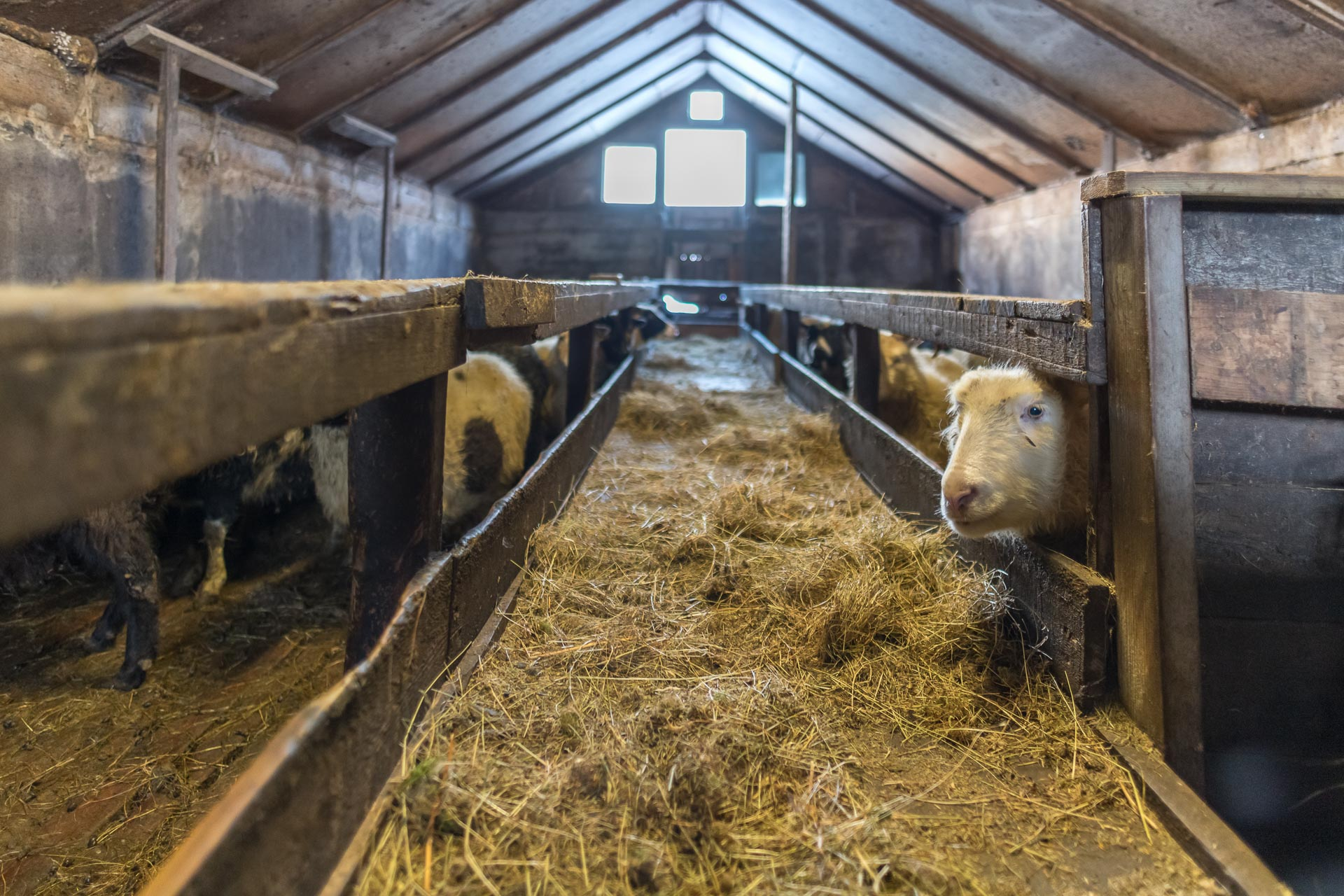Für die Schafe gibts Heu