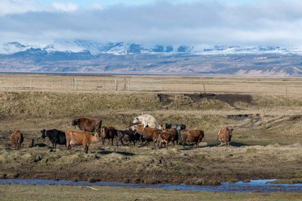 Bei schönem Wetter dürfen die Kühe nach draussen.