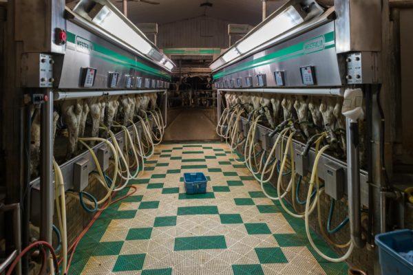 Melchstand, 20 Kühe können zeitgleich gemolken werden