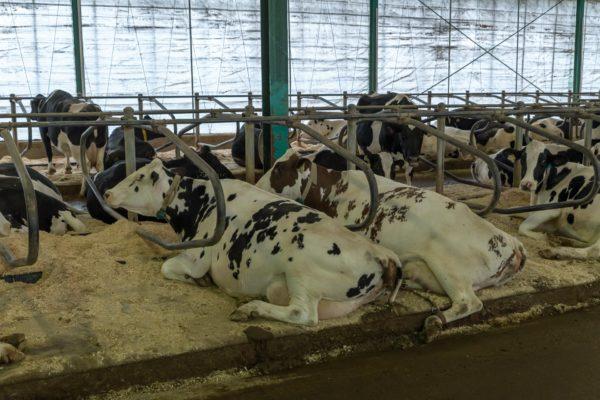Liegebereich der Kühe
