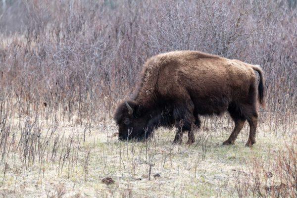 Bison [Bison bison] im Riding Mountain NPq