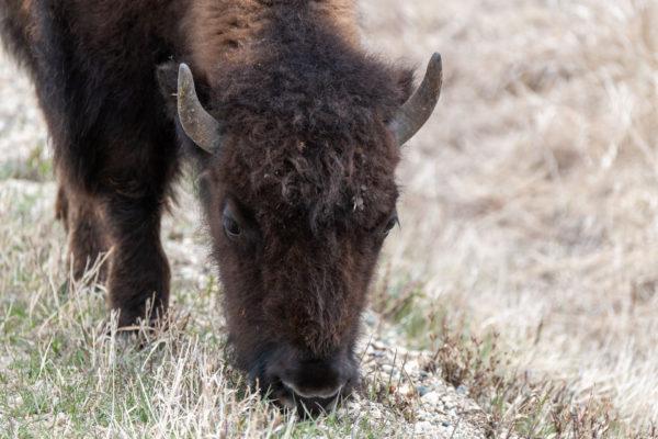 Bison [Bison bison] im Riding Mountain NP