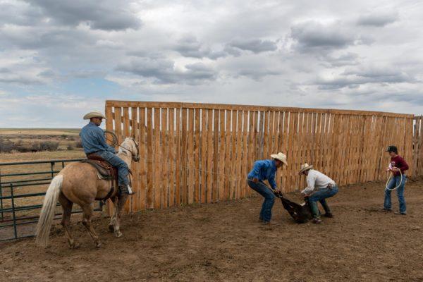Die Kälber werden per Lasso gefangen