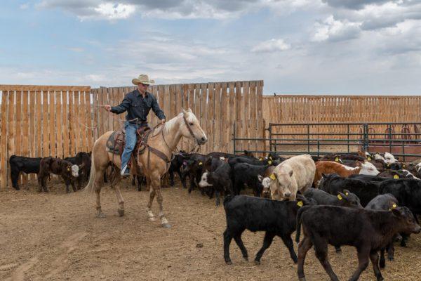 Cowboy an der Arbeit