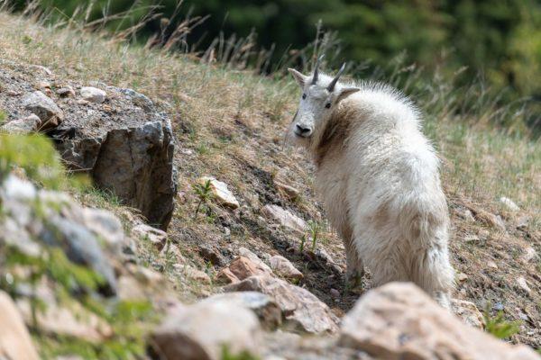Mountain Goat [Oreamnos americanus]