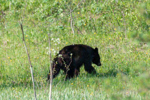 Oftmals verschwinden die Bären im Gebüsch wenn ich anhalte