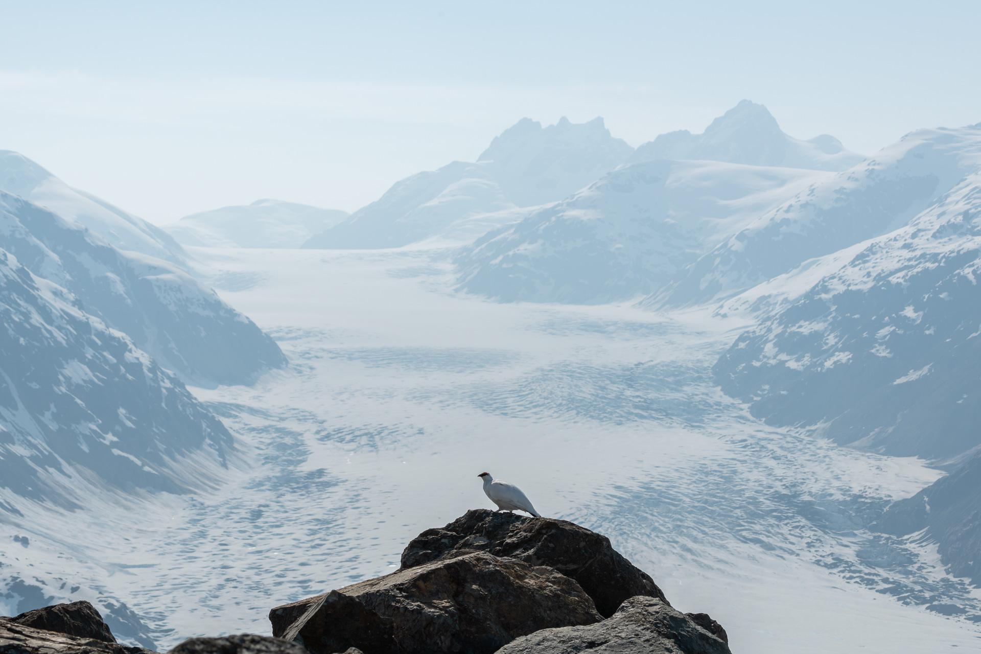 Schneehuhn [Lagopus]